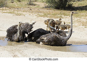 Family of ostriches having a bath in hot sun of the Kalahari