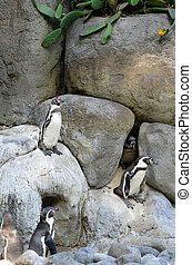 Family of Penguins. playing in the rocks.
