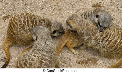Family of playful Meerkats play with each other. Thailand -...