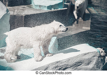 Family of polar bears. Young white bear shake it off itself from water in the sun