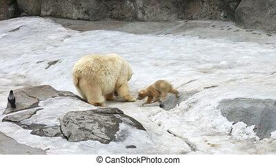 Family of polar polar bears - a she-bear with bear cubs on...