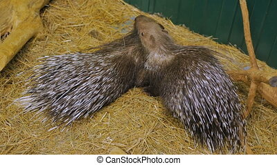 Family of porcupine lying at the zoo. Animal care concept