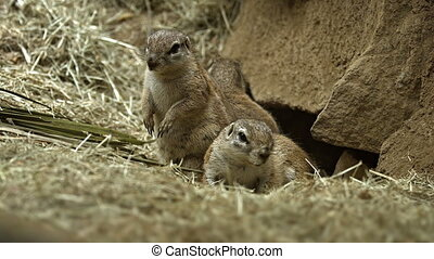 Family of Prairie Dogs Guarding their Den. - Family of...
