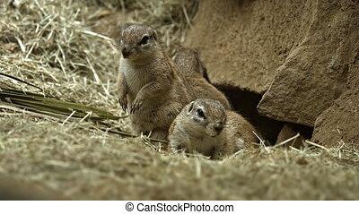 Family of Prairie Dogs Guarding their Den. - Family of...