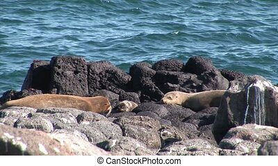 Family of Seal with a small newborn baby pups relax on beach Galapagos.
