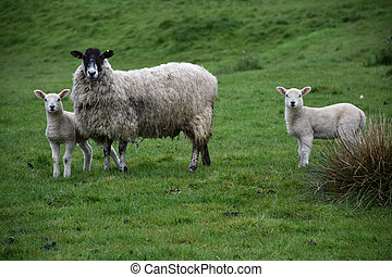 Family of Sheep in a Large Grass Field