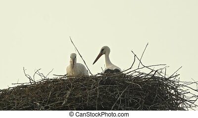 Family of storks in a large nest. Blue sky. - Family of...