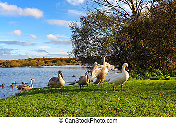 Family of swans in the park