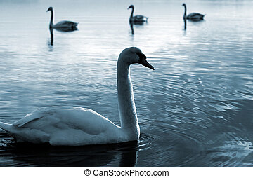 Family of swans swimming, blue.