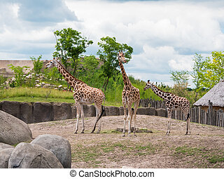 Family of three giraffes