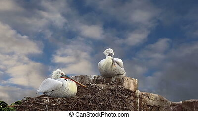two pelicans nest - Family of two pelicans nest at the blue...