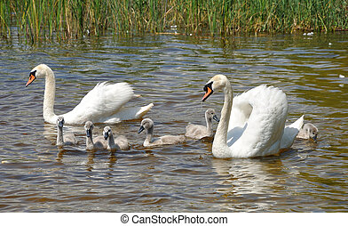 family of white swans on a lake