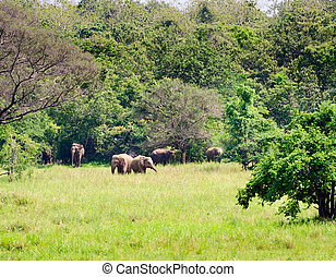 Family of wild asian elephants in nature