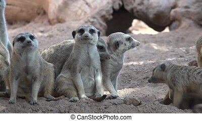 Family Of Wild Meerkats