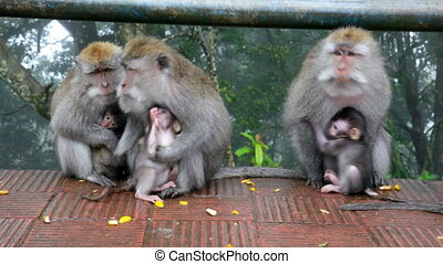 family of wild monkeys on road
