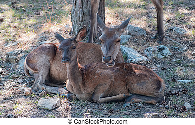 Family of wild red deer, Cervus elaphus, at Parnitha forest mountain, Greece.