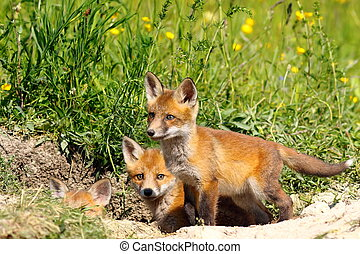 family of young fox cubs near the den