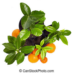family of young potted citrus plants isolated on white. top view