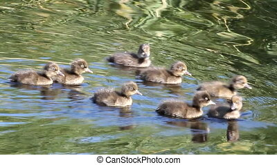 family of young wild ducklings. voice of birds