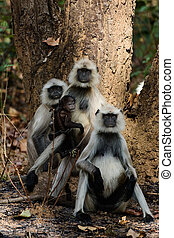 The family photo Hanuman Langurs