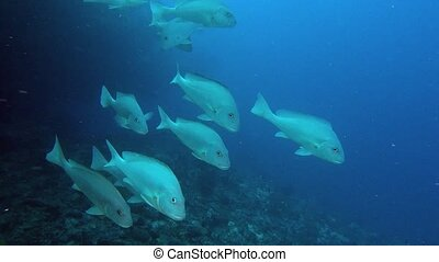 Family silver fish in search of food on background of seabed underwater.
