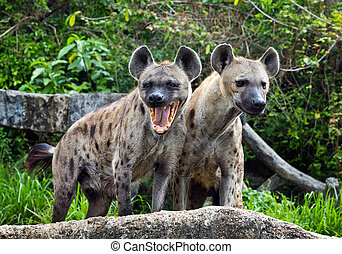 spotted hyena in the wild.