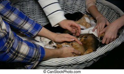 family strokes a sleeping beagle puppy close up - female...