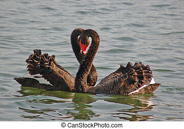 Family Swan - Two black swans pass with affectionate...