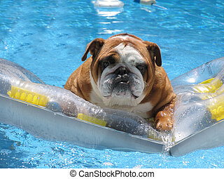 Family vacation Pet Friendly Hotel - Bull Dog with serious...