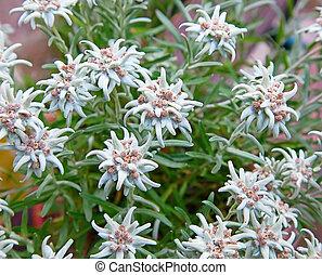 Famous alpine Edelweiss (Leontopodium alpinum)