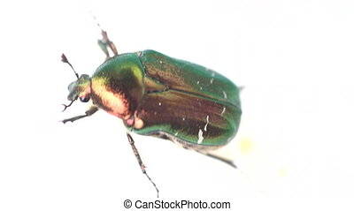 Famous beetle. Gold bug crawling on white surface - Rose...