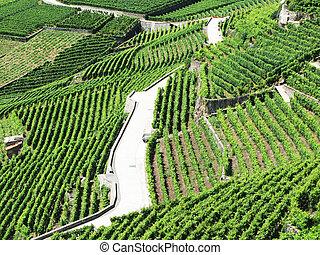 Famouse vineyards in Lavaux region against Geneva lake....