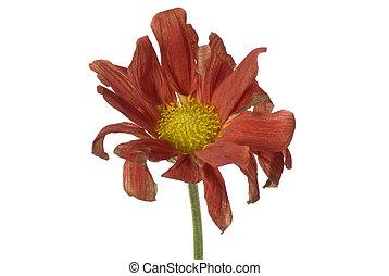 fané, fleur, isolé
