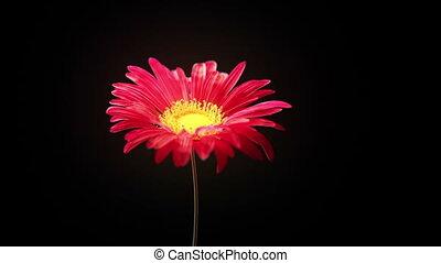 fané, fleur