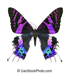 fancy butterfly isolated on white - Beautiful multicolored...