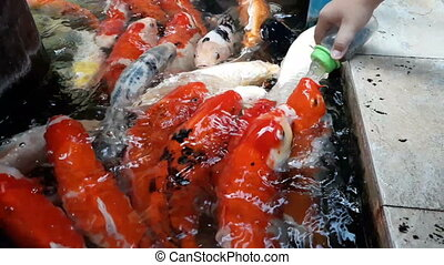 Fancy Carp Fish Feeding by Milk Bottles