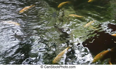Fancy carp fish in garden pond