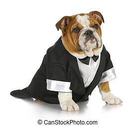 english bulldog wearing black tuxedo and tails on white background