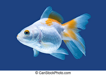 Fancy Goldfish Isolated