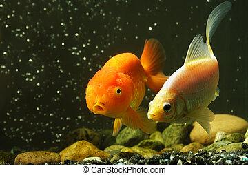 Fancy goldfish - Two fancy pet goldfish in an aquarium