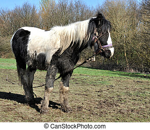 fangoso, blanco, caballo negro