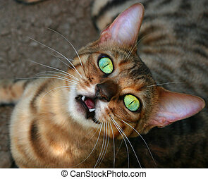 A Bengali special breed kitten looking upwards, with huge open irridescent green eyes, with its mouth open revealing two front teeth and a strange look on its face.