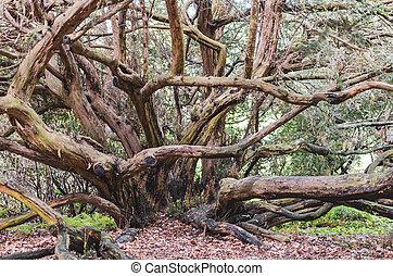 fantástico, descubierto, curvo, árbol, excepcional, ramas, hermoso, enebro, branches., vista, viejo
