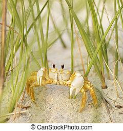 fantôme, plage., crabe