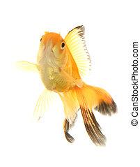 Fantail goldfish cutout portrait studio