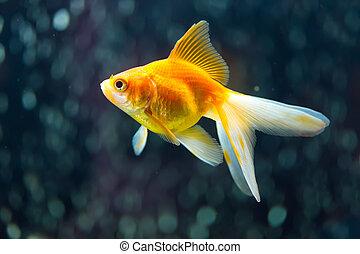 Fantail Goldfish - Ryukin Goldfish aka Carassius auratusb