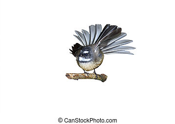 fantail isolated on white