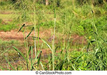 Fantail Warbler (Cisticola juncidis omalurus) endemic subspecies in grass meadow. Sri Lamka
