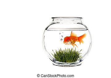 fantasie, goldfish kom