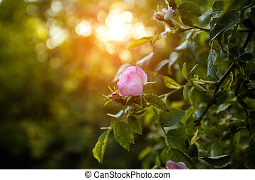 Fantastic amazing nature blooming pink flowers in the garden on a spring or summer floral sunny background with rays of sunlight and rays.